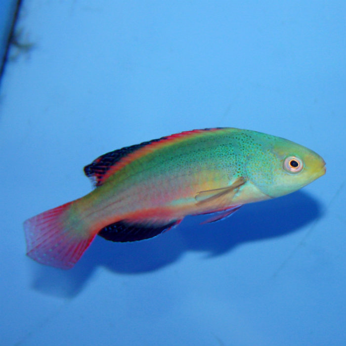 Scotts Fairy Wrasse Cirrhilabrus Scottorum Small