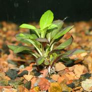 Cardinal Plant Lobelia Cardinalis Small Form