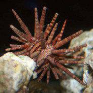 Upside-down Jellyfish - Cassiopea frondosa