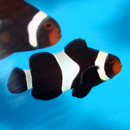 black ocellaris clownfish amphiprion ocellaris captive bred