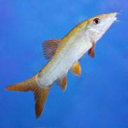 Redtail Botia Yasuhikotakia Modesta That Fish Place