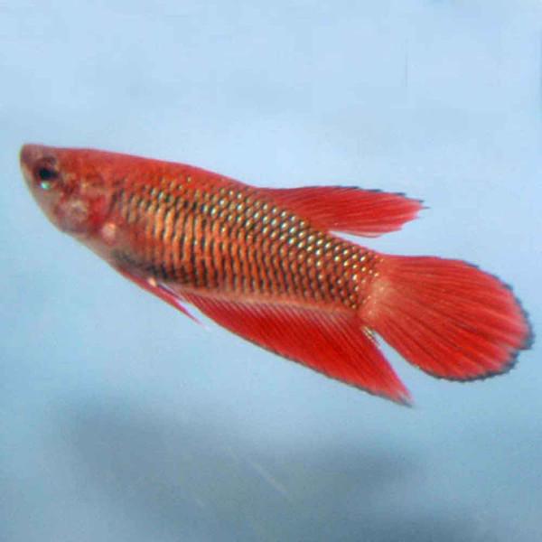 Veiltail betta betta splendens female for Female betta fish pictures