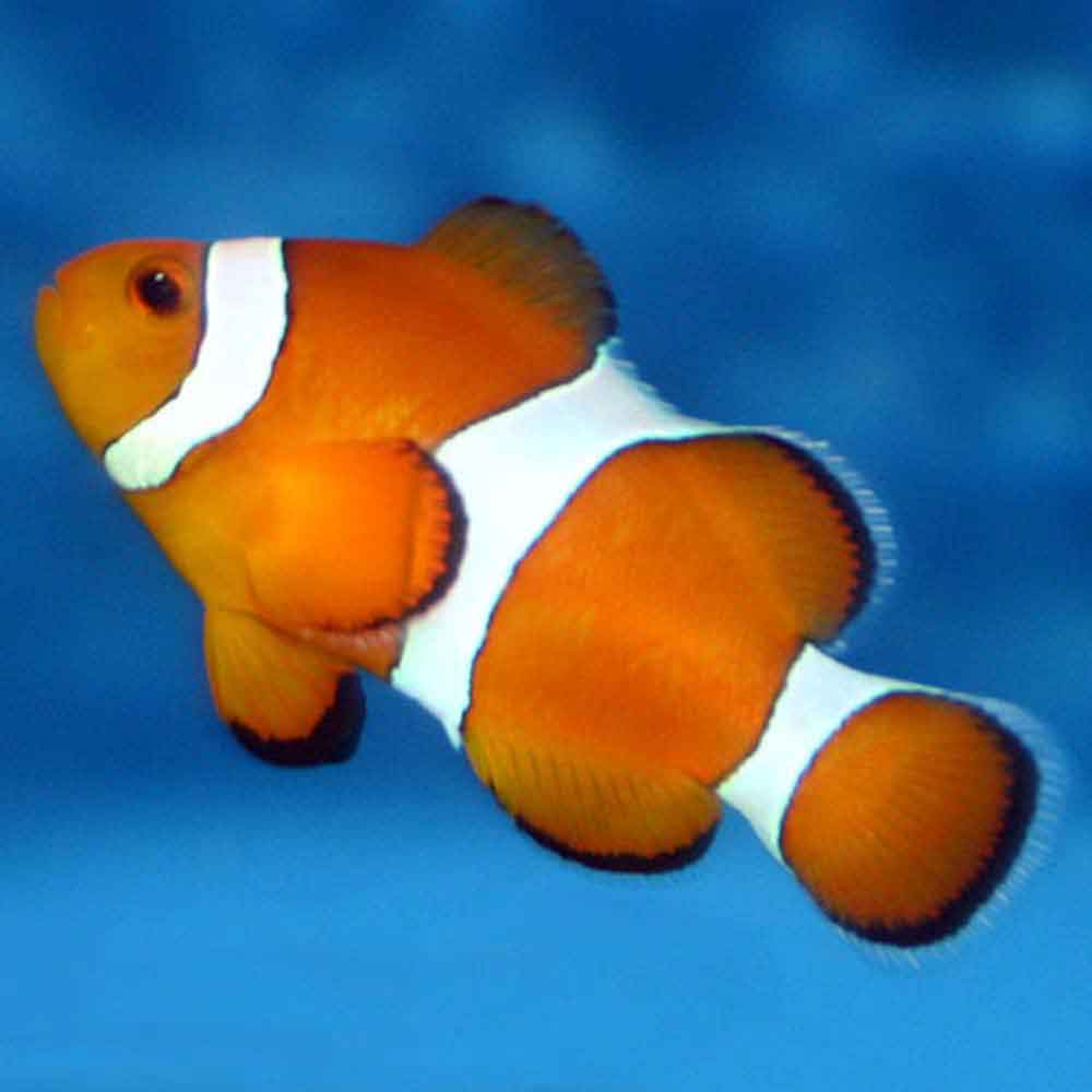 Ocellaris Clownfish Amphiprion Ocellaris Sm. Tankraised