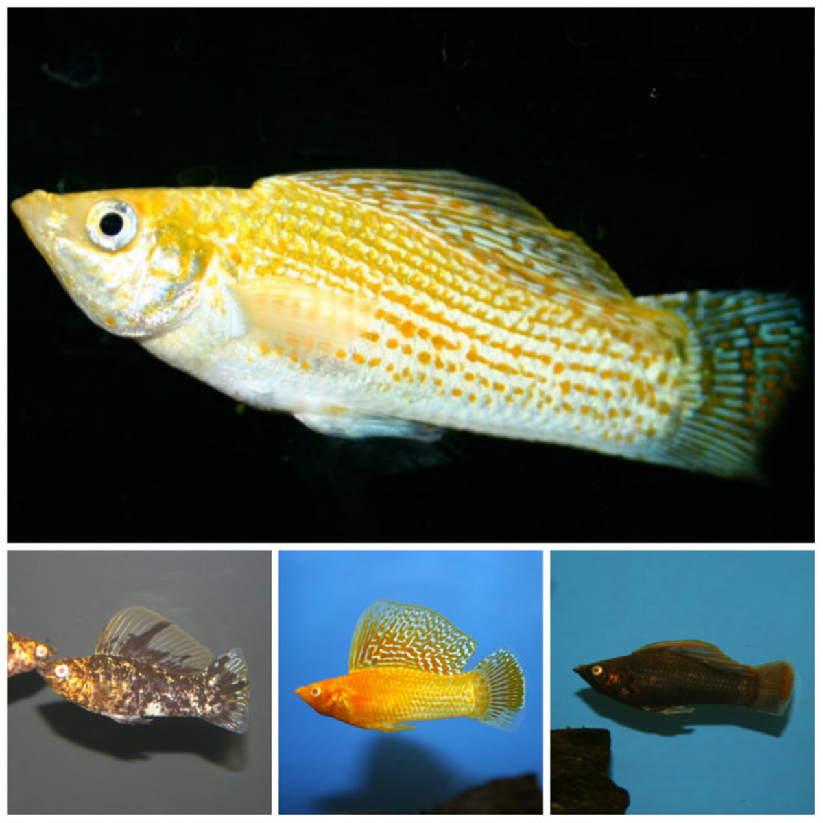 Assorted Sailfin Molly Poecilia Velifera