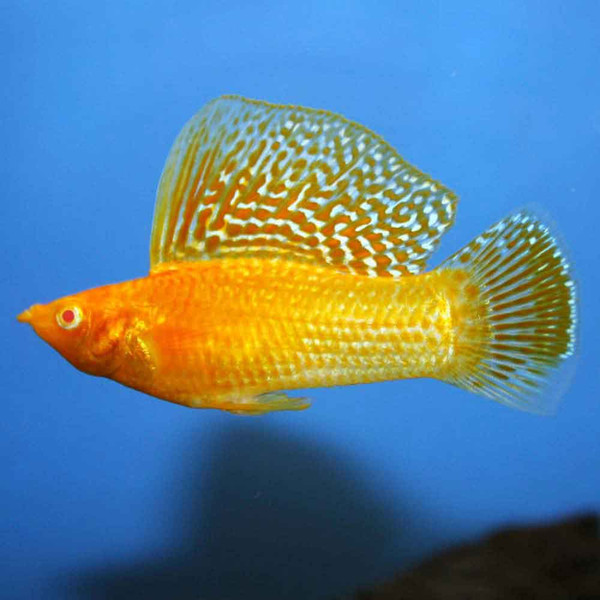 Assorted sailfin molly poecilia velifera for Molly fish food