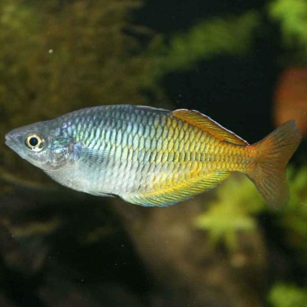 Boeseman 39 s rainbowfish melanotaenia boesemani for Freshwater rainbow fish