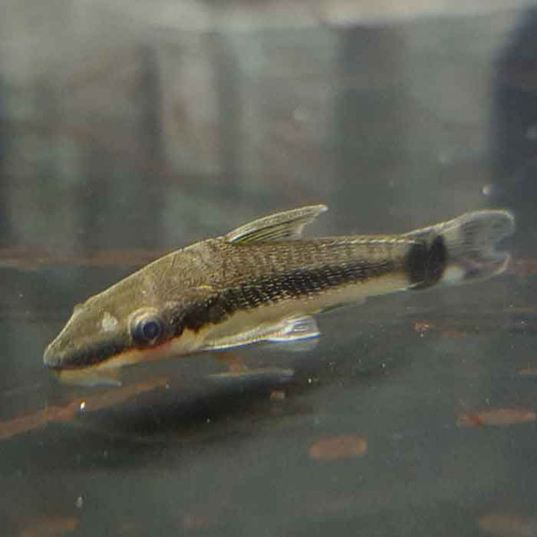 Dwarf suckermouth catfish otocinclus sp for Aquarium sucker fish