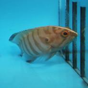 Grouper, Snapper - Buy Fish For Saltwater Aquarium