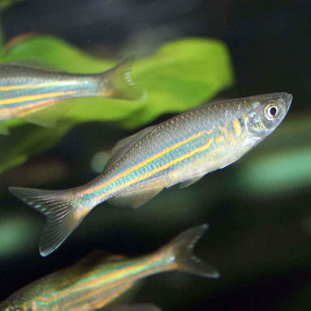 Bottom feeder fish loaches wiring diagrams repair wiring for Giant danio fish