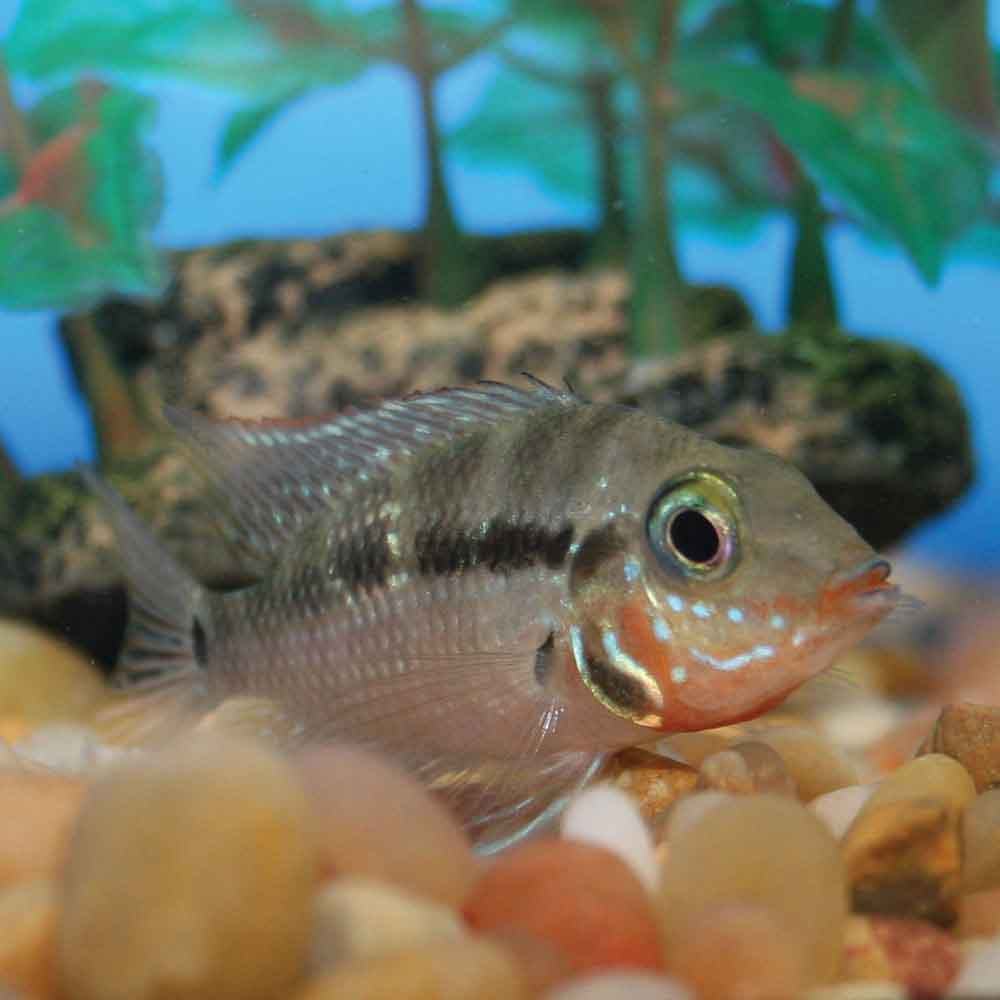 Firemouth Cichlid Juvenile What To Feed African C...