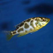 malawi eyebiter dimidiochromis compressiceps juvenile