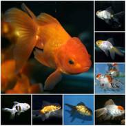 Fancy Goldfish - Oranda, Fantail, Ryukin & More