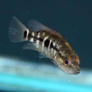 Wolf Cichlid Parachromis Dovii Juvenile Thatpetplacecom