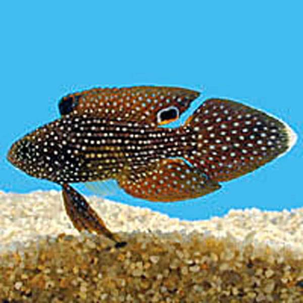 Marine Betta Calloplesiops Altivelis Large