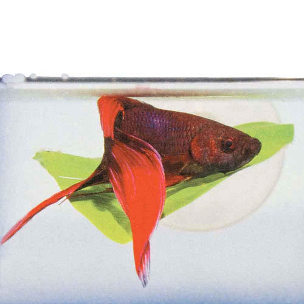 betta hammock betta hammock   that fish place  rh   thatpetplace