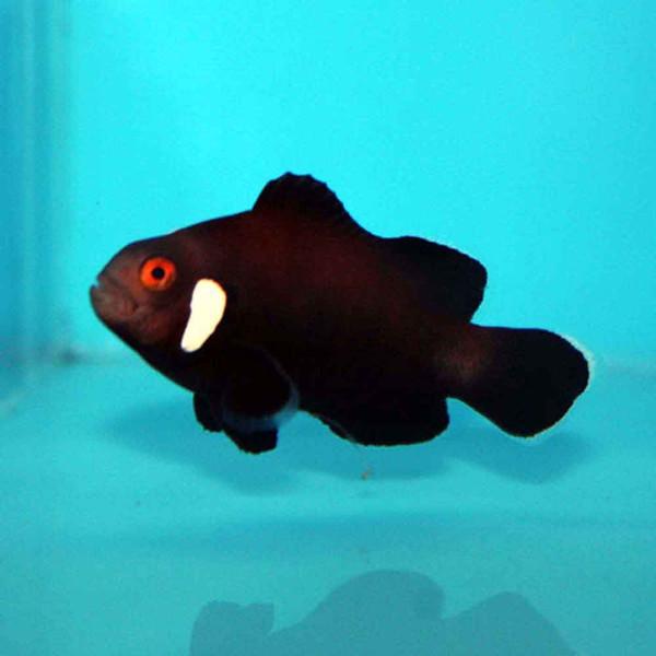 Black Clownfish | Extreme Misbar Black Ocellaris Clownfish Amphiprion Ocellaris