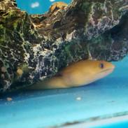 golden dwarf moray eel gymnothorax melatremus