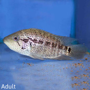 Central and South American Cichlids For Sale | thatpetplace com