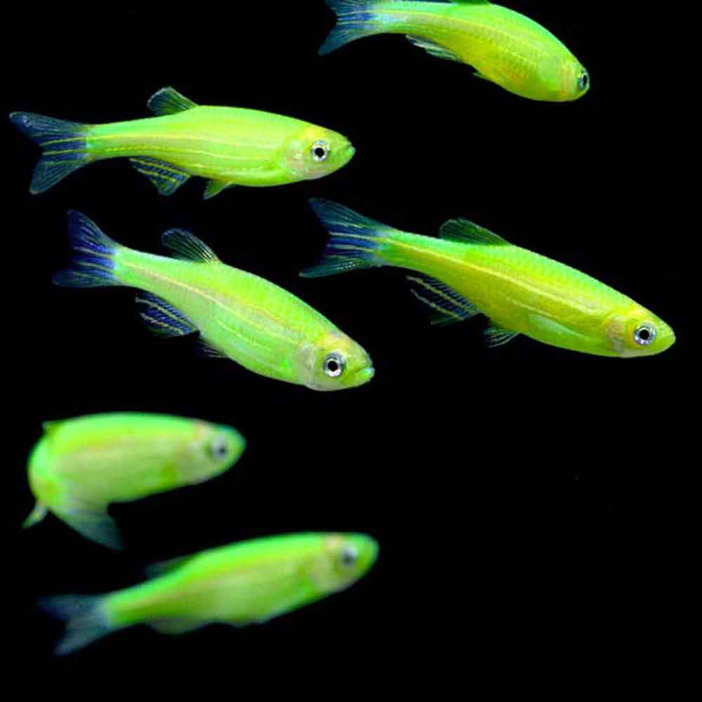 Electric Green Glofish Danio Rerio
