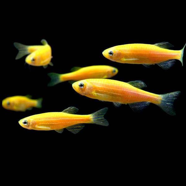 Sunburst orange glofish danio rerio that fish place for Petco koi fish