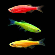Freshwater Fish Aquarium Fish For Sale Online Thatpetplace Com