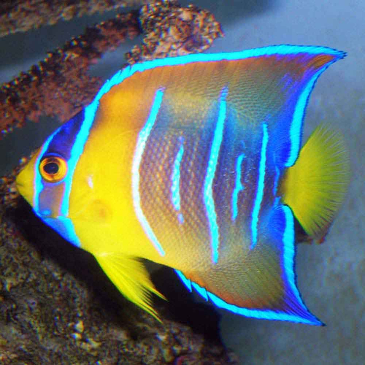 Queen Angelfish, Holacanthus ciliaris Fish Guide and Pictures