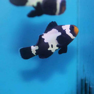 black snowflake clownfish amphiprion ocellaris captive bred