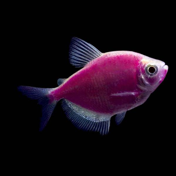 Galactic Purple Glofish Tetra Gymnocorymbus Ternetzi