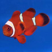 Misbar Goldstripe Maroon Clownfish - Premnas biaculeatus (ORA)