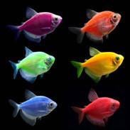 Cosmic Blue GloFish Tetra - Gymnocorymbus ternetzi