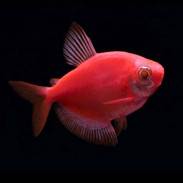 Glofish for Sale - Buy live Glowfish for your Tank