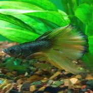 Bettas - Siamese Fighting Fish, Betta For Sale   thatpetplace com