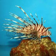 Buy Venomous Lionfish,...