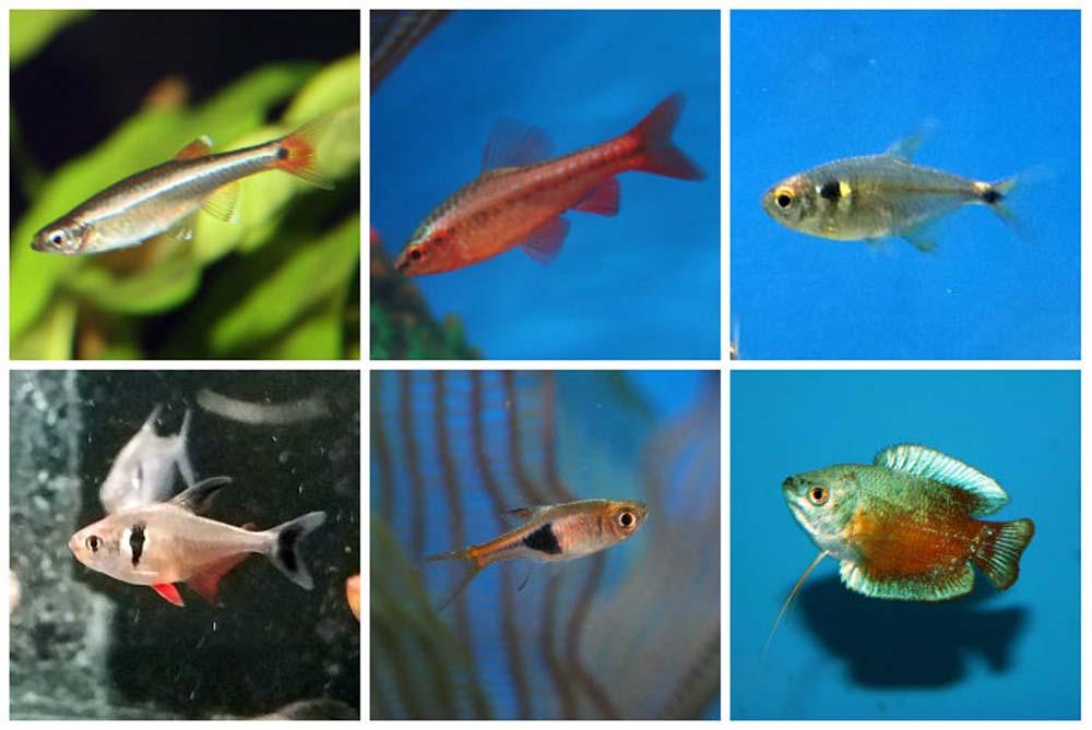 Bottom feeder fish for fish tanks wiring diagrams repair for Bottom feeder aquarium fish