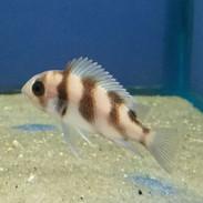 Freshwater Fish - Aquarium Fish For Sale Online